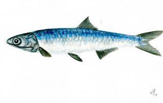 Sardelle, Engraulis encrasicolus